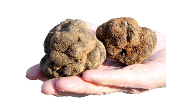 Wild truffle grows on Paris rooftop, in scientific mystery