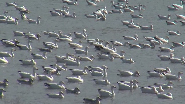 Snow geese set record at Middle Creek