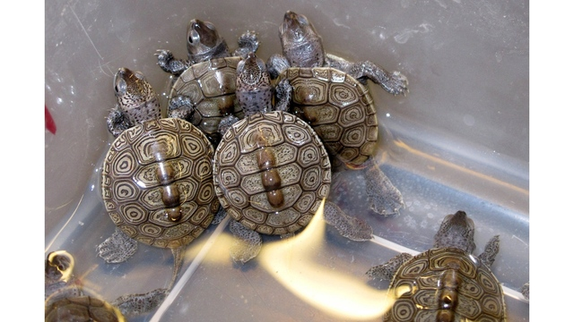 Pennsylvania man charged with trafficking over 3,500 turtles